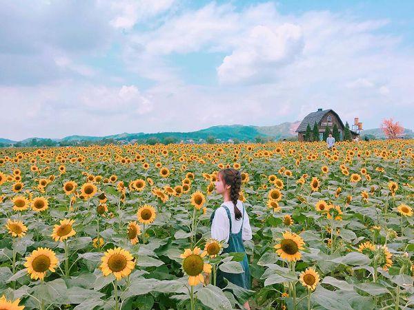 Mơ thấy cánh đồng hoa hướng dương đánh con gì?