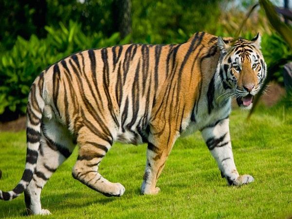 Nằm mơ thấy hổ đánh con gì?