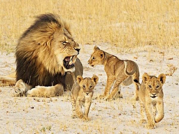 Nằm mơ thấy sư tử đánh con gì số mấy