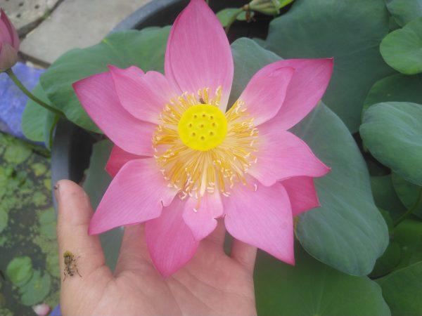 Nằm mơ thấy hoa sen đánh con gì may mắn có điềm báo gì